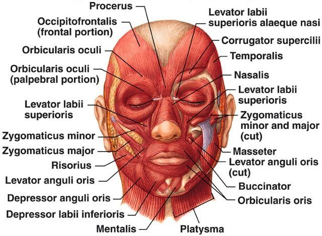 Facial Muscles Esthetician Education Face Muscles Of Facial Expression Muscles Of The Face Facial Muscles