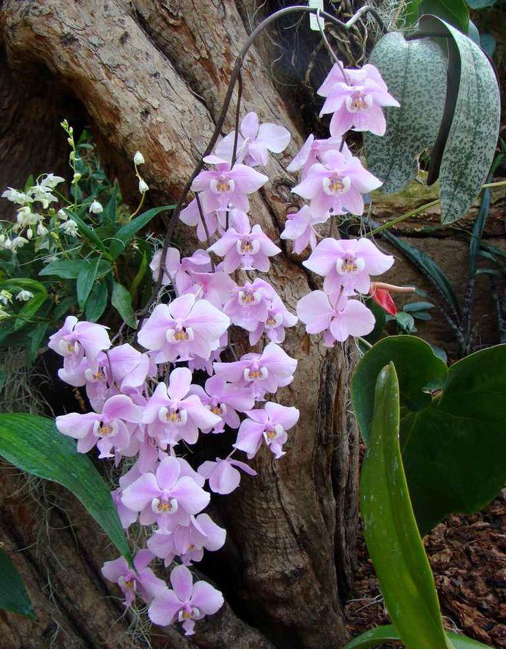 Phalaenopsis schilleriana                                                                                                                                                                                 Mehr