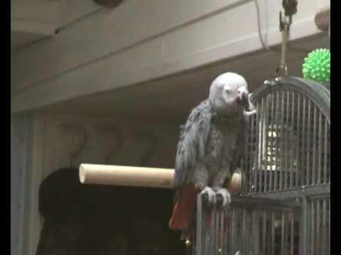 bamboula perroquet qui parle chante rit / talking parrot