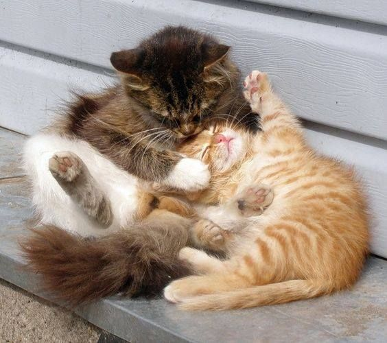 Cute pair of Fluffy Kittens Playing