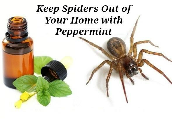 Peppermint Oil To Get Rid Of Spiders In Car