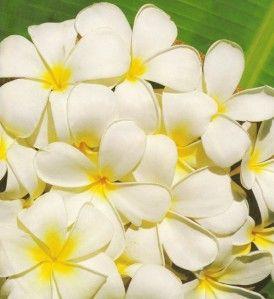 Flor-de-tiare-001-Vista-Web-grande.jpg