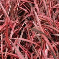 Phormium-Evening-Glow-Flax-Sept-2013