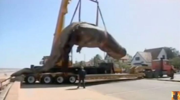Dead sperm whale explodes after falling from crane (Video)
