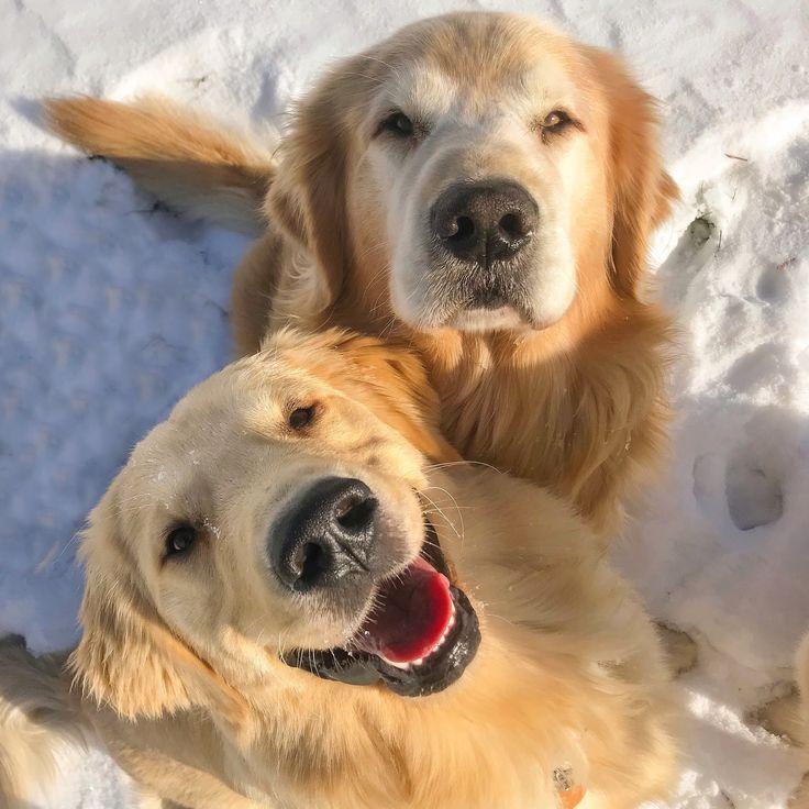 Maine's Joyful Goldens Puppa Tavish and Joyful Jax
