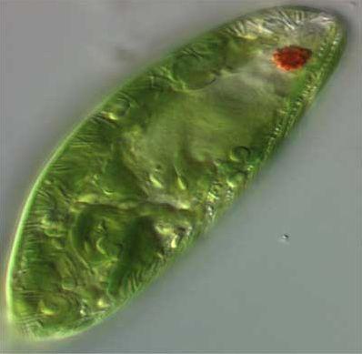 17 best images about protists euglena on pinterest image. Black Bedroom Furniture Sets. Home Design Ideas