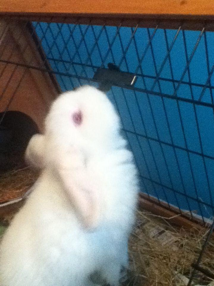My flop eared rabbit