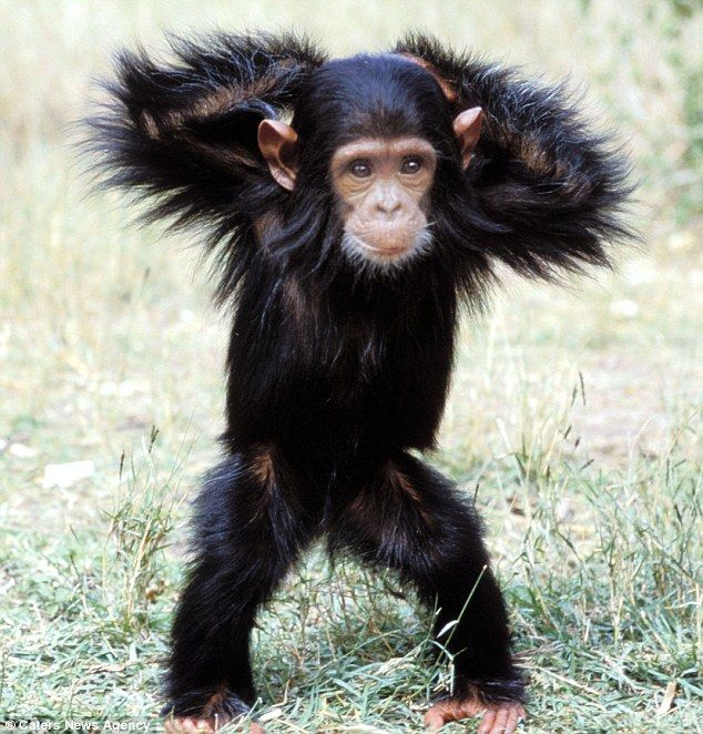A Chimpanzee shows off some of his best dance moves for a wildlife photograher