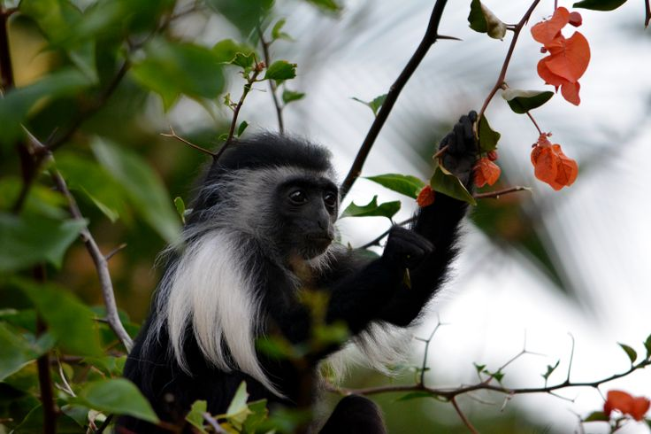 21 novembre 2013, Chale Kenya: oggi vi presentiamo alcuni fra i più curiosi e affascinanti abitanti del resort… (Foto di Paolo Bonvini)