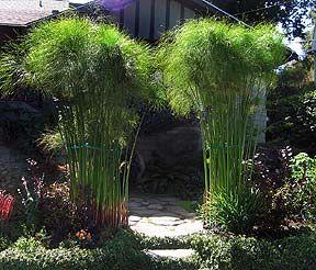 "Cyperus papyrus ""Egyptian Paper Plant""    I LOVE PAPYRUS!"