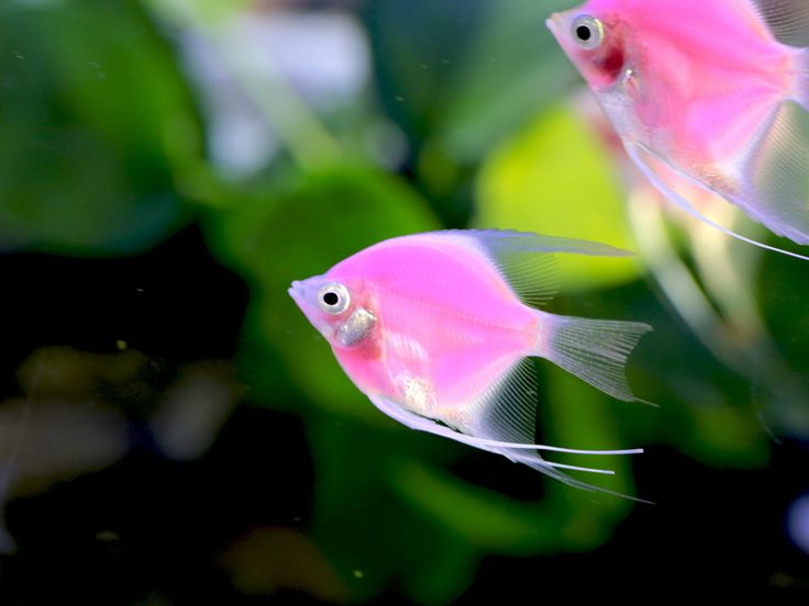 A Pink Fluorescent angelfish #picoftheday #NGC #NatGeoWildGR