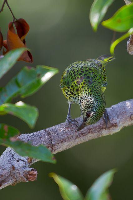 Foto saíra-negaça (Tangara punctata) por Bertrando Campos   Wiki Aves -