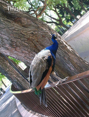 Zoo, buenos aires  Pavo real