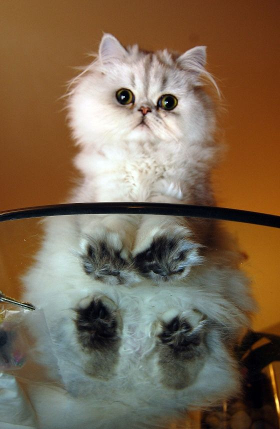 Best Cats On Glass Tables Ideas On Pinterest Little Kitty - 13 super fluffy cats melting glass