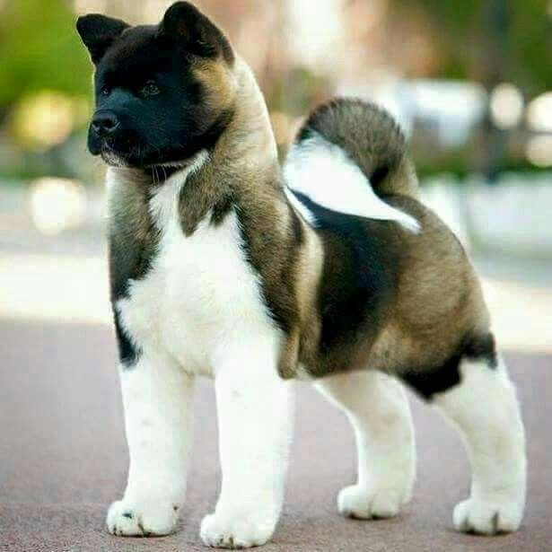 Dogs puppies for sale at www.dogspuppiesforsale.com Magnifique akita américain