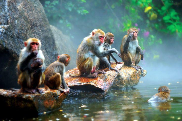 A Monkey Hot-Spring. Guess who is the boss? #sanya #hotspring#SanyaRepin #SanyaHeartstoHearts