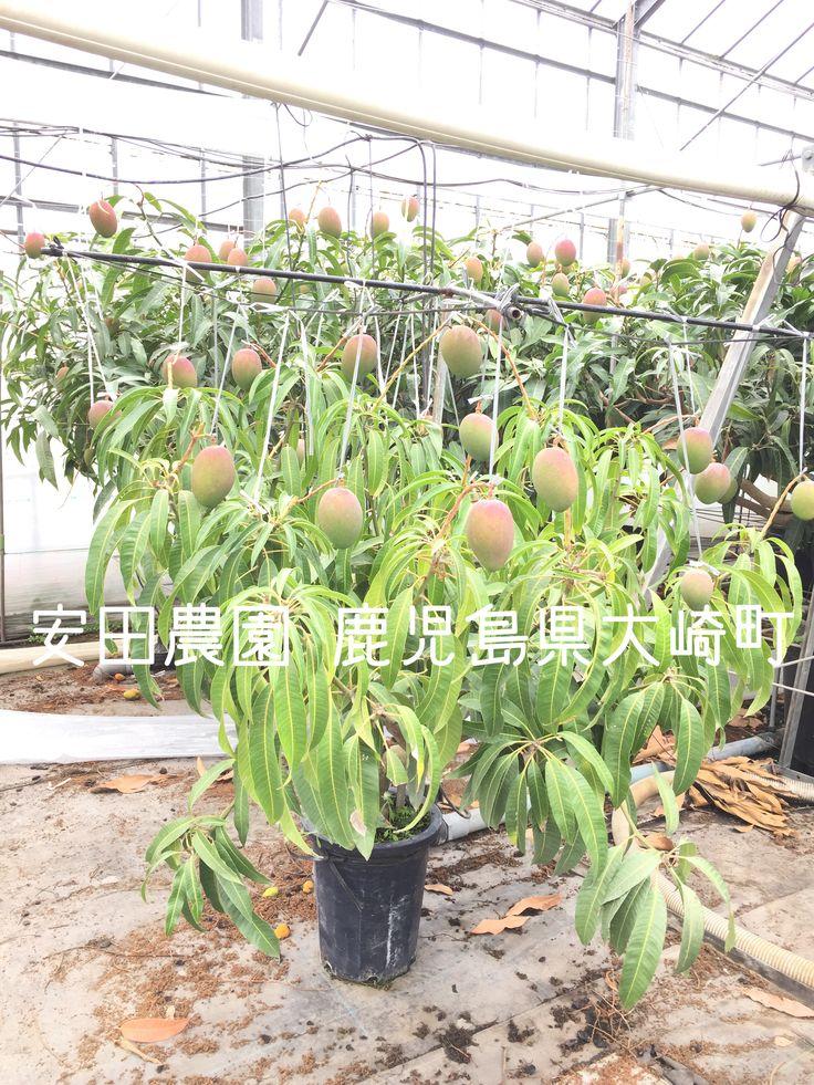 Mango trees in small pots. 鉢植え栽培 完熟マンゴー.鹿児島県大崎町 安田農園
