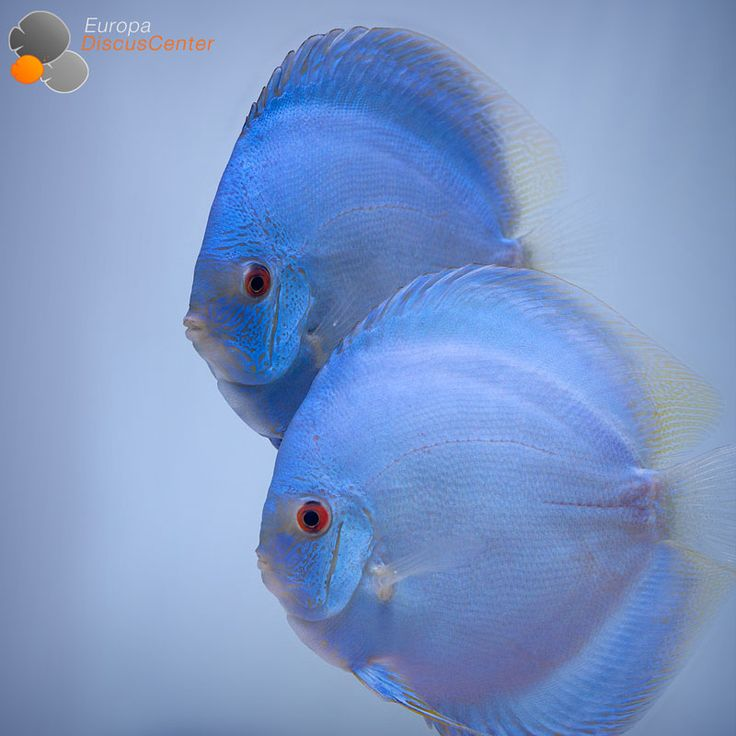 Blue Diamond Diskusfische