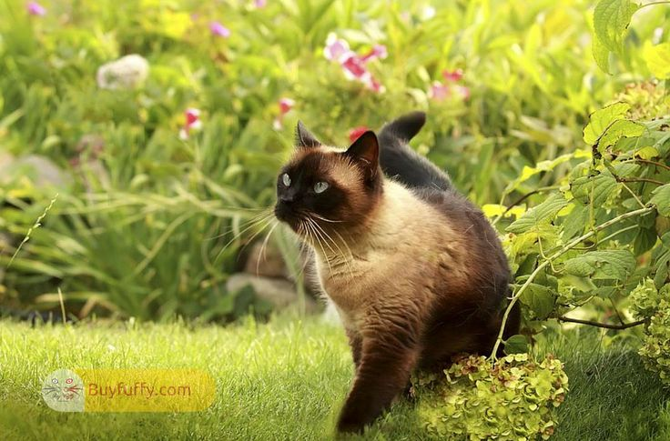 It has been said by numerous who put Siamese cats for sale that Siamese have the goal that they can entertain one another while their owners…
