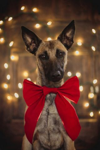 https://i.pinimg.com/736x/ff/15/a7/ff15a78ae2c68008d7a73ab4ef0ace5e--the-christmas-christmas-pets.jpg