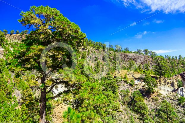 Qdiz Stock Images Forest on Mounains on Tenerife Island