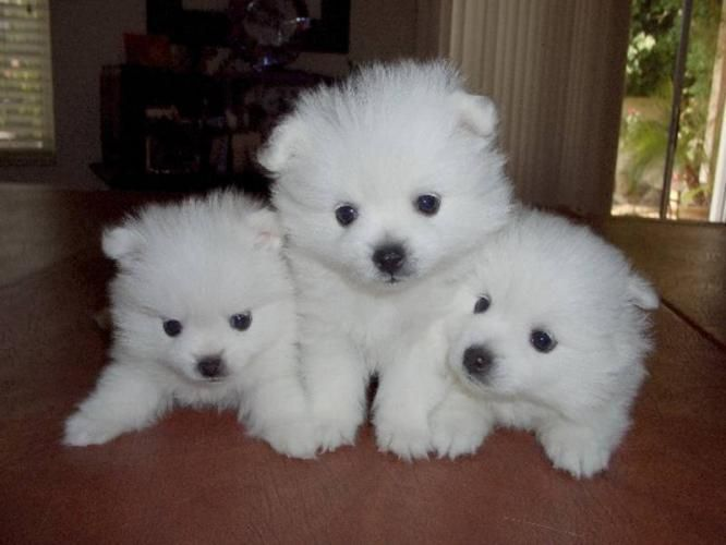 American eskimo puppies - i will have one someday...