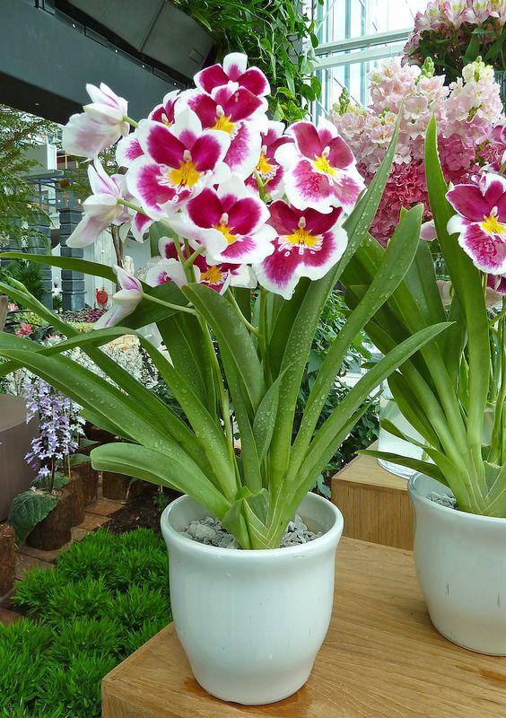 Orchids Miltonia