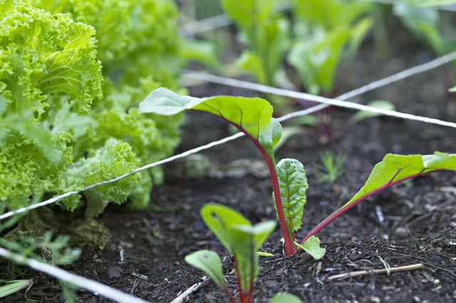 Herbs and Veggies to Plant in August for Northern America-  Beets, Carrots, Peas, Radishes & Turnips