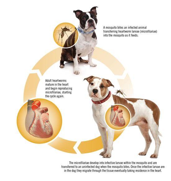 Néhány héttel ezelőtt Szegeden szívférgességet diagnosztizáltak egy német juhászkutyánál, de sajnos az állatorvosok már nem sokat tudtak ten...