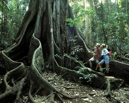 Did you know that Australia is host to the oldest rainforest on the planet? The Daintree Rainforest is a tropical wonderland north of Mossman, Queensland, on the coast, north of Cairns. It is estimated to be over one hundred and thirty-five million years old and is the largest continuous area of tropical rainforest on the Australian mainland (around 1200 square kms).