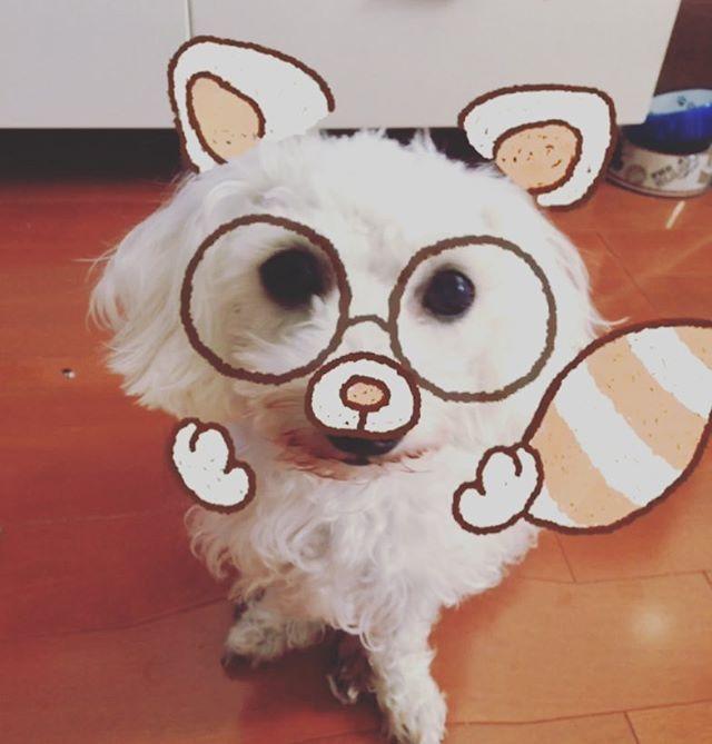 . 反応しやすくなった? Curl難しくて数回、数十回に一回って感じだけど、、、 Berryちゃん結構反応する🐶🐾 #snow#カメラアプリ#犬に反応 #明日やっとべりかるに会える🐶💓 *・゜゚・*:.。..。.:*・'*・゜゚・*:.。..。.:*・'*・゜゚・*:.。..。.:*・' #BerryとCurl#白と黒#多動飼い #ミックス犬#シュダップー#シュナウザー#トイプードル #ダックス#3種ミックス犬#2歳 #トイプードル#チワワ#チワプー#9ヶ月 #里親#引き取り#愛犬#dogstagram#いぬすたぐらむ #わんこなしでは生きていけません#わんこ好きな人と繋がりたい '・*:.。. .。.:*・゜゚・*'・*:.。. .。.:*・゜゚・*'・*:.。. .。.:*・゜゚・*