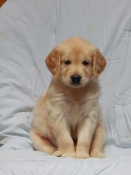 Drew - Golden Retriever Puppy for Sale in Orrville, OH | Lancaster Puppies