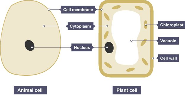 Animal And Plant Cells Both Have A Cell Membrane