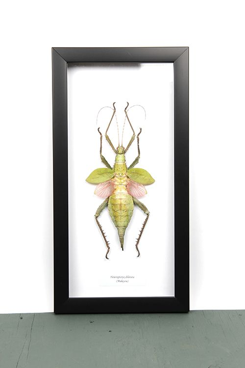 Heteropteryx dilatata