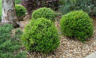 Low-Maintenance & Very Easy to Grow - Dwarf English Boxwoods are extremely adaptable evergreens. They're known for their gorgeous light-green leaves and round, compact shape. The stunning foliage is soft to the touch, and adds lively texture to your landscape. The round, delicate leaves look great surrounded by perennials or as a...