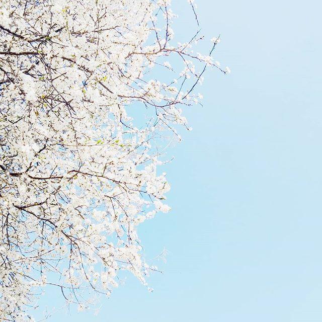 Wiosna wybuchła. Dwugodzinny spacer zresetował głowę zmęczył ciało. Odprężył. Poukładał. Kto by pomyślał że spacery mają taką moc ;) Teraz peeling całego ciała i książki. Mam kilka zaczętych a przed wyjazdem do UK chcę je skończyć. Milton Londyn widzimy się w przyszłym tygodniu. Szykujcie słońce! . . . #blue #calm #sky #tree #spring #negativespace #instamood #instapic #bluesky #sun #sunny