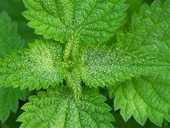 Plané bylinky propašujte na jaře do kuchyně, kopřivami nacpěte mrazák