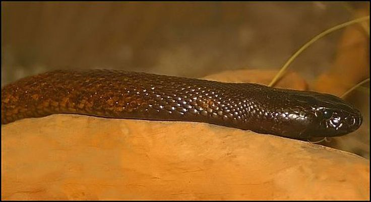 Inland taipan snake The inland taipan has one of the most lethal venoms; one drop can kill up to 100 adult men, and it works in as little as 45 minutes.