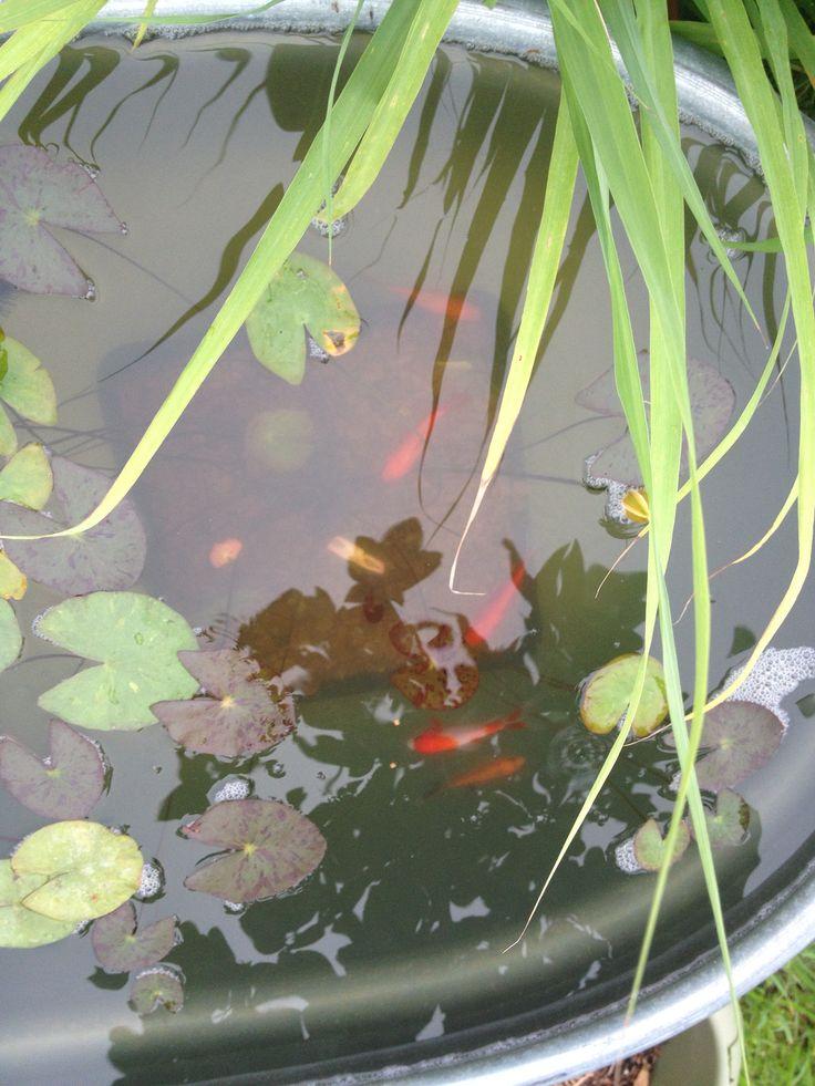 Comet goldfish my stock tank water garden pinterest for Goldfish pond care