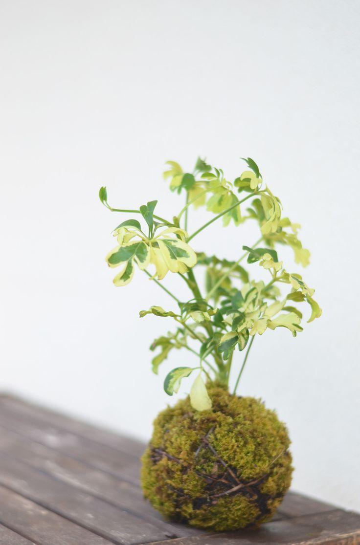 les 57 meilleures images du tableau kokedama sur pinterest jardinage en pots jardins. Black Bedroom Furniture Sets. Home Design Ideas