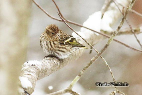 Pine Siskin Photo  Winter Finch Art  Bird Lover Gift