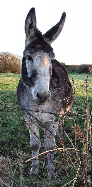 The mule photographed by ally beag, via Flickr
