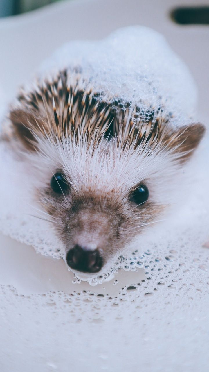 Hedgehog Animal Water Foam Bath 720x1280 Wallpaper Hedgehog Pet Cute Hedgehog Super Cute Animals