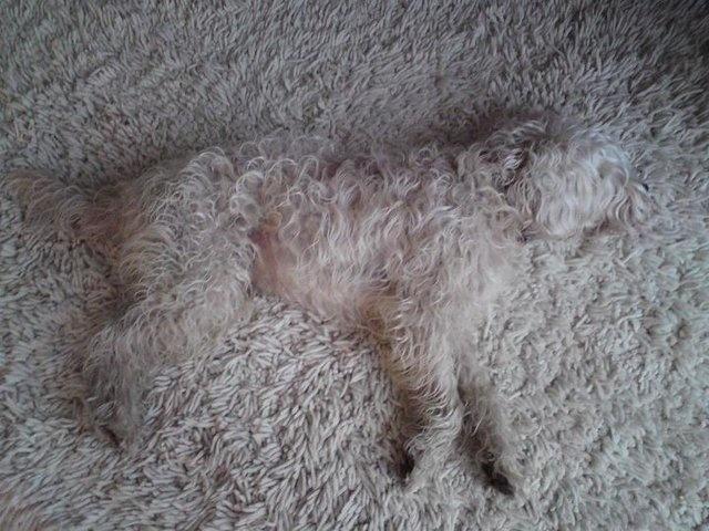 Dog White Carpet Beste Awesome