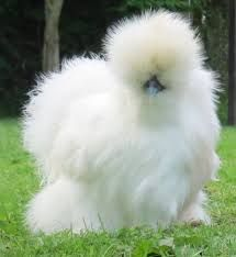 Image result for white frizzle chicken