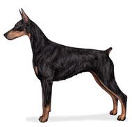 A square, medium-sized dog, the Doberman Pinscher is muscular and possesses great endurance and speed. He is elegant in appearance and refle...