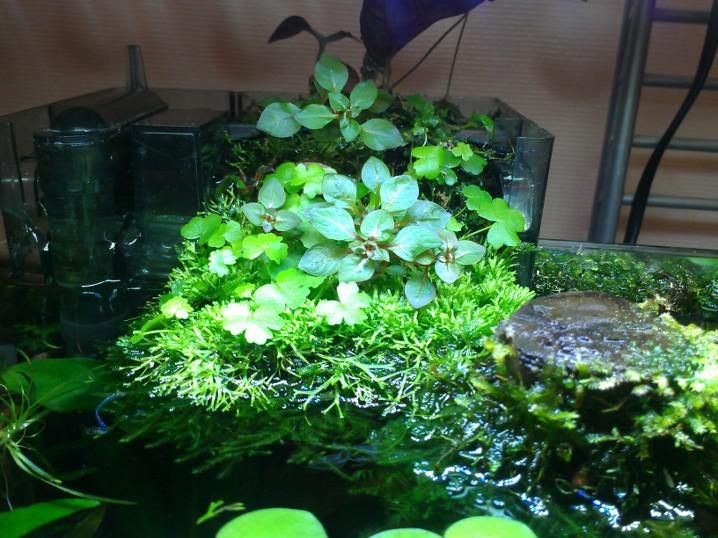 ... of using a HOB filter as another place to grow semi aquatic plants