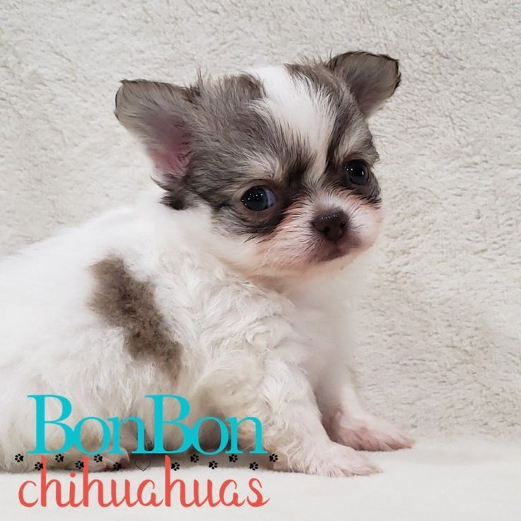 Chihuahua puppies for sale in 2020 chihuahua puppies