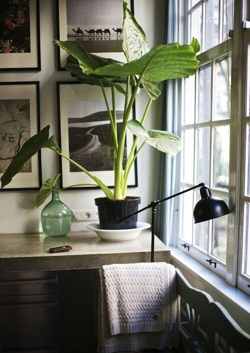 indoor elephant ear greenery pinterest the winter a month and elephant ears. Black Bedroom Furniture Sets. Home Design Ideas
