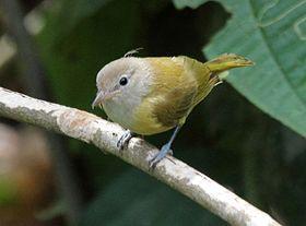 Dusky-capped Greenlet (Hylophilus hypoxanthus).jpgEl verdillo ventriamarillo3 (Pachysylvia hypoxantha), también denominado verderón pardusco (en Colombia), verdillo de gorro oscuro (en Perú), verderón gorra fusca (en Venezuela, vireillo de capa oscura o vite-vite-de-barriga-amarela (en portugués, en Brasil),2 es una especie de ave paseriforme, perteneciente al género Pachysylvia (antes colocado en Hylophilus) de la familia Vireonidae. Es nativo de América del Sur.